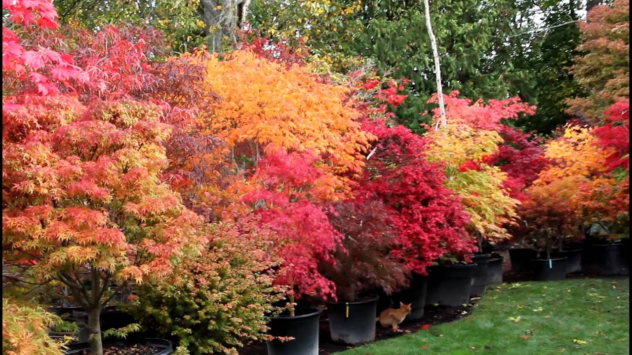 Amazing Maples Fall 2011 Japanese Maple Trees Youtube