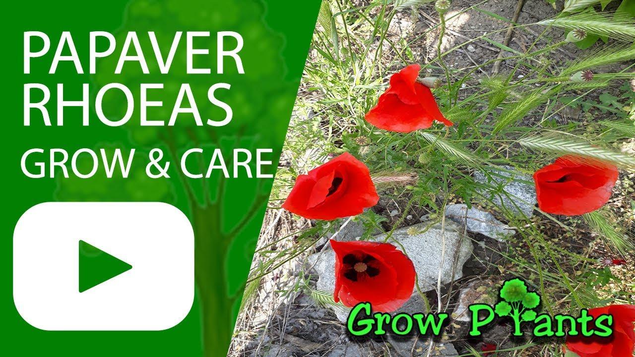 Papaver rhoeas grow care eat corn poppy youtube papaver rhoeas grow care eat corn poppy mightylinksfo