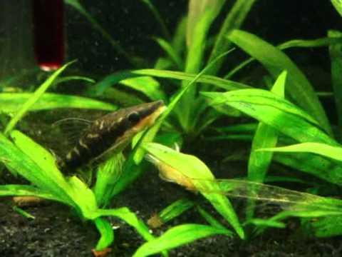 otocinclus cocama spawning