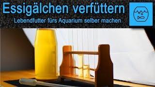 Essigälchen züchten und verfüttern - Lebendfutter selber machen - Fischfutter - Anleitung - Rezept