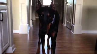 Doberman Stalking me!