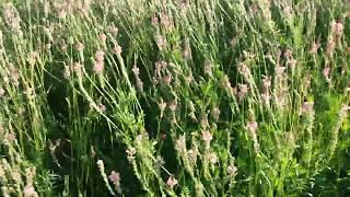 видео Пчёлы на цветках эспарцета песчаного