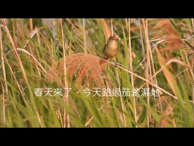 茄萣濕地樹上淘寶網東方大葦鶯Oriental Reed Warbler