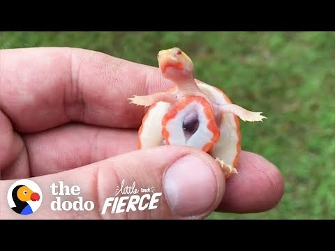 Big Guy Adopts Tiny Special Needs Turtle With An Exposed Heart | The Dodo Little But Fierce