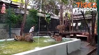 Big Cat Playtime at Tiger Kingdom Chiang Mai
