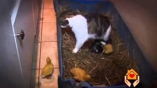 Kot i kaczki