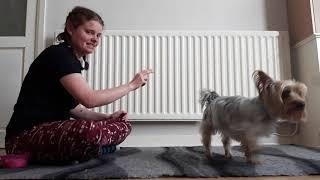 Dog Training: Zym (Australian Silky Terrier)  Trick dog 20+ skills!