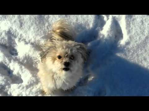 Bolonka Zwetna Spiel und Spass im Schnee