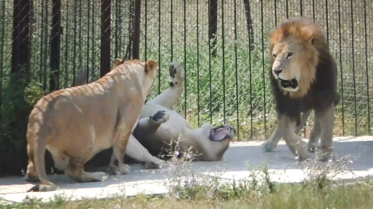 Интересное утро! Львиные хроники. Тайган. Lions Chronicles. An interesting morning! Taigan