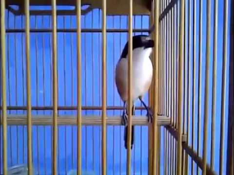 suara burung pentet gacor full isian