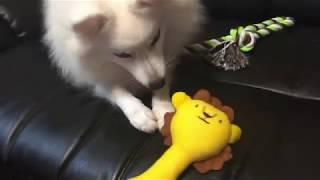 japanesespitz Lemon  <レモンVSライオン> わたちレモン  白もふ 白も...