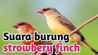 Download Kicau Suara burung strowbery finch (emprit stroberi) red avadavat atau amandava amandava
