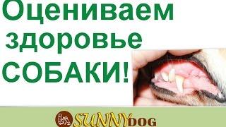Как оценить здороье собак  Осмотрт слизистой