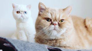 Adorable Exotic Shorthair Cat # 2