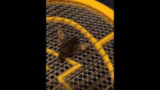 Giant Ass Horsefly vs Electric Fly Swatter