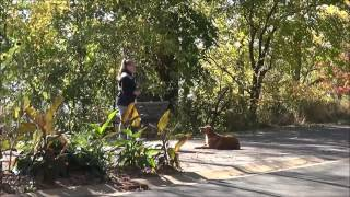 Rafe (golden Retriever) Dog Training Video Minneapolis
