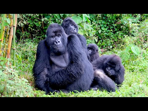 Encounter with the gorillas in Rwanda: PHENOMENAL experience!