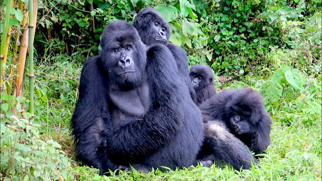 The Cost Of Gorilla Trekking In Uganda Price Of A Gorilla Safari In Rwanda