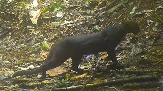 The Walking Jaguarundi