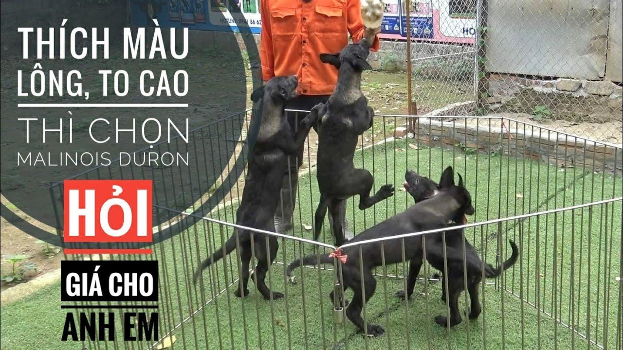 Ai sẽ chọn chó Malinois Duron ???/ Malinois Mehico/ NhamTuatTV - Dog in Vietnam