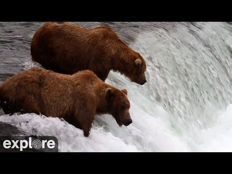 Please Bear With Me Soon Theyll Leave >> Brown Bear Cam Brooks Falls In Katmai National Park Explore Org