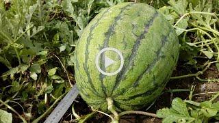 видео Зачем прививать арбузы?