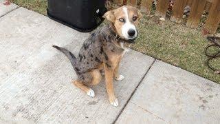 Tulsa Dog Training Jamie 6 Month Catahoula