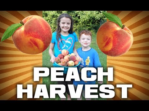 Millions of Peaches! Peaches for Me!