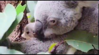Появившийся на свет детеныш коалы покорил Сеть