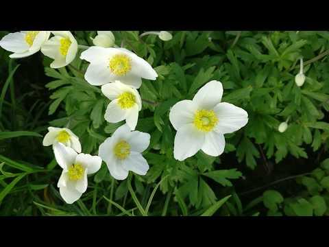 Самые ранние многолетние цветы моего сада. Анемона, алиссум скальный, обриета, вероника, виола, лен