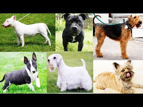 All Terrier Dog Breeds List In The World (A to Z)