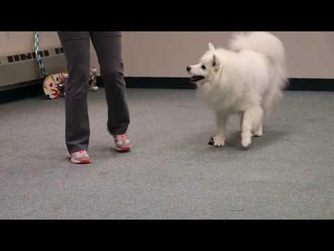American Eskimo Dog's comedy routine
