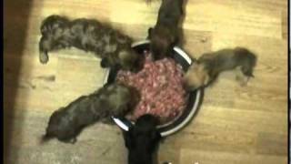 Miniature Dachshund Puppies Eating Their First Prey Model Raw Meal