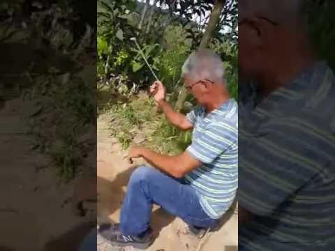 Juegos Gallitos Algarrobas Youtube