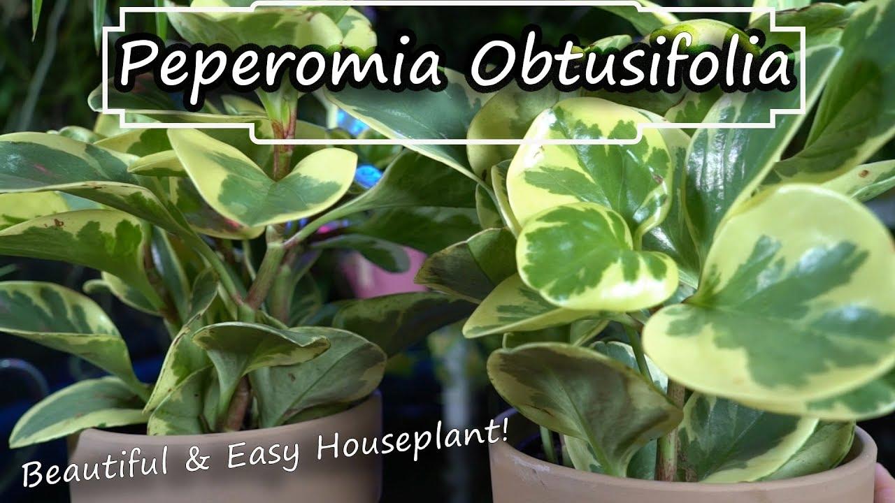 Peperomia Obtusifolia Care Baby Rubber Plant Easy Houseplant Non Toxic Houseplant Youtube