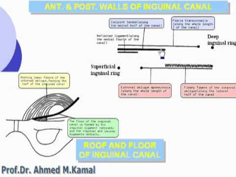 08- Inguinal canal (Abdomen)