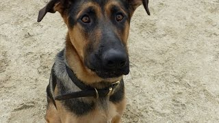 Xander - Gsd X Great Dane - 2 Week Residential Dog Training At Adolescent Dogs