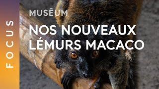 Nouveauté : les lémurs macaco