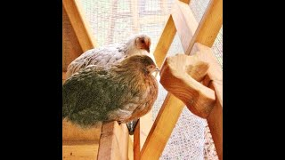 Beautiful A Frame Chicken Coop For Sale- Good For 5-7 Chickens