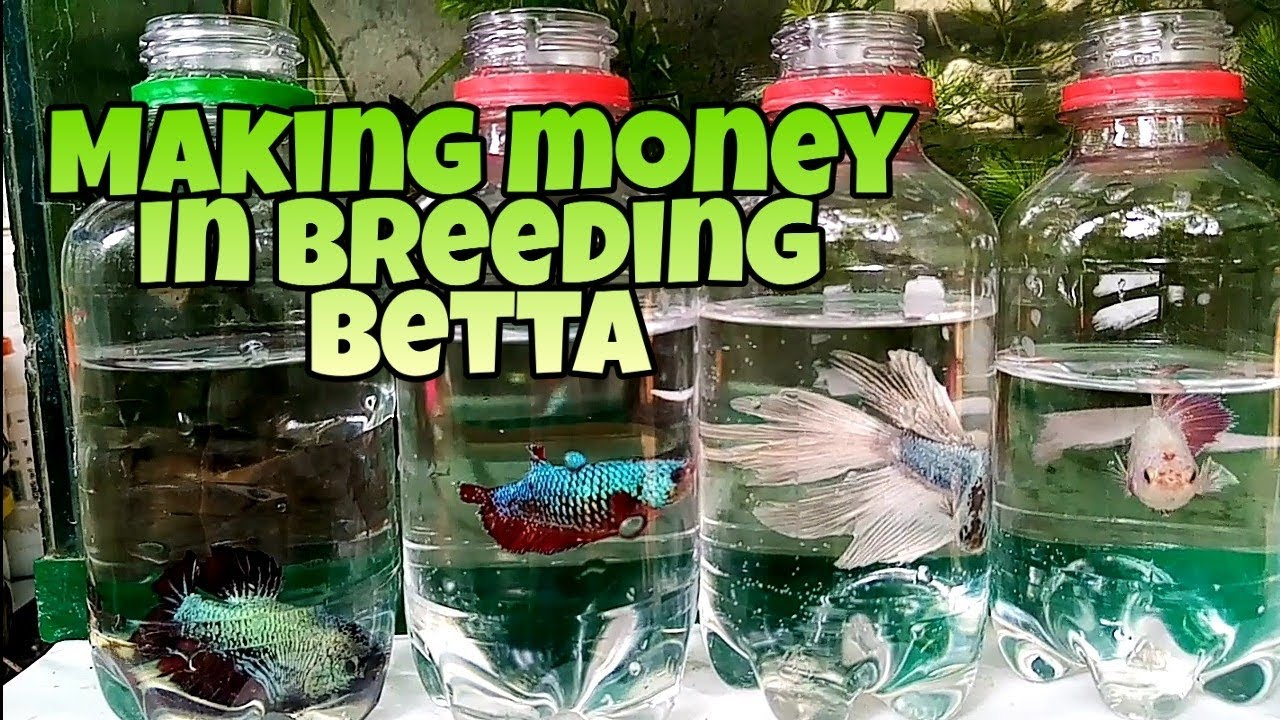 How to earn money in breeding betta fish, breeding for profit. For Local Sale Only