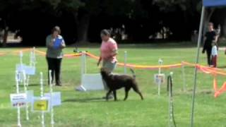 Rally Obedience - Excellent Course With Tucker Chocolate Labrador