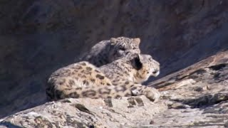 Mother and cub snow leopard behaviour - Snow Leopard: Beyond the Myth - BBC thumbnail