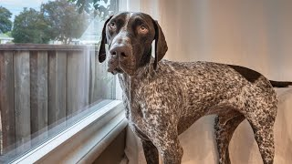 Please take me with you | German Shorthaired Pointer & Labrador