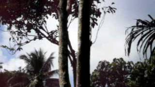 lansones picking in guyam indang cavite vidallo s farm 2