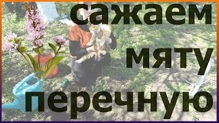 Мята перечная посадка выращивание уход размножение Как посадить мяту перечную Посадка мяты перечной