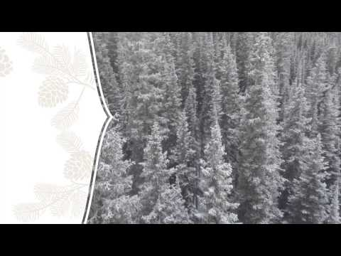northern-lights-black-spruce:-seed-to-seal-in-action-|-young-living