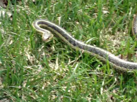 Adult Garter Snake - YouTube