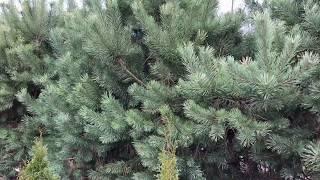 видео Живая изгородь из ели обыкновенной своими руками: фото