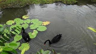 ХАЙНАНЬ Черные лебеди в джунглях Янода