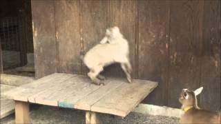Goat Flight